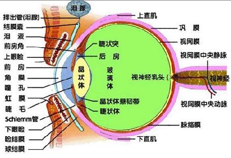 眼睛的生理结构图