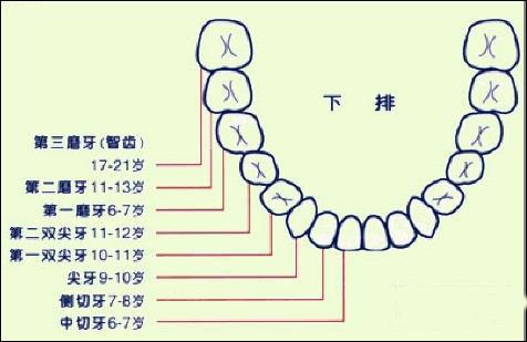 幼儿牙齿名称图片