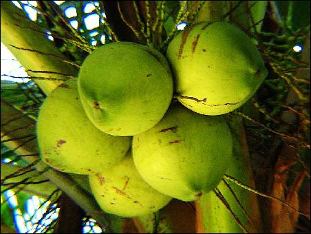 椰子适宜在低海拔地区生长,我国海南岛在海拔150-200m以下的地方才能